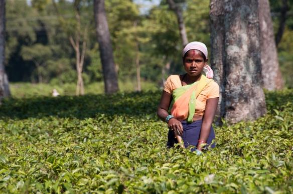 Mujer trabajando en un campo de te