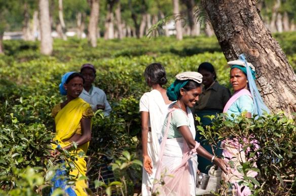 Mujeres en los campos de te